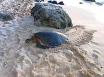 Sea Turtle1