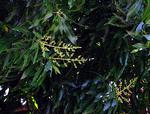 マンゴーの花の蕾
