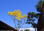 ゴールドツリー1