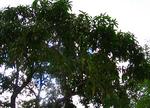 ハレイワのマンゴーの木