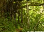 巨大バニアンツリー2002