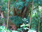 マノアのジャングル