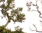 オフアレフアの木