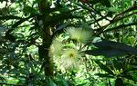 ローズアップルの花
