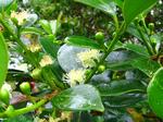 ストロベリー・グアヴァの花