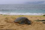 パパイロアビーチのウミガメ1